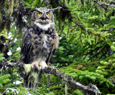 Great Horned Owl. Newfoundland