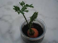 Faire pousser ses fanes de carotte !