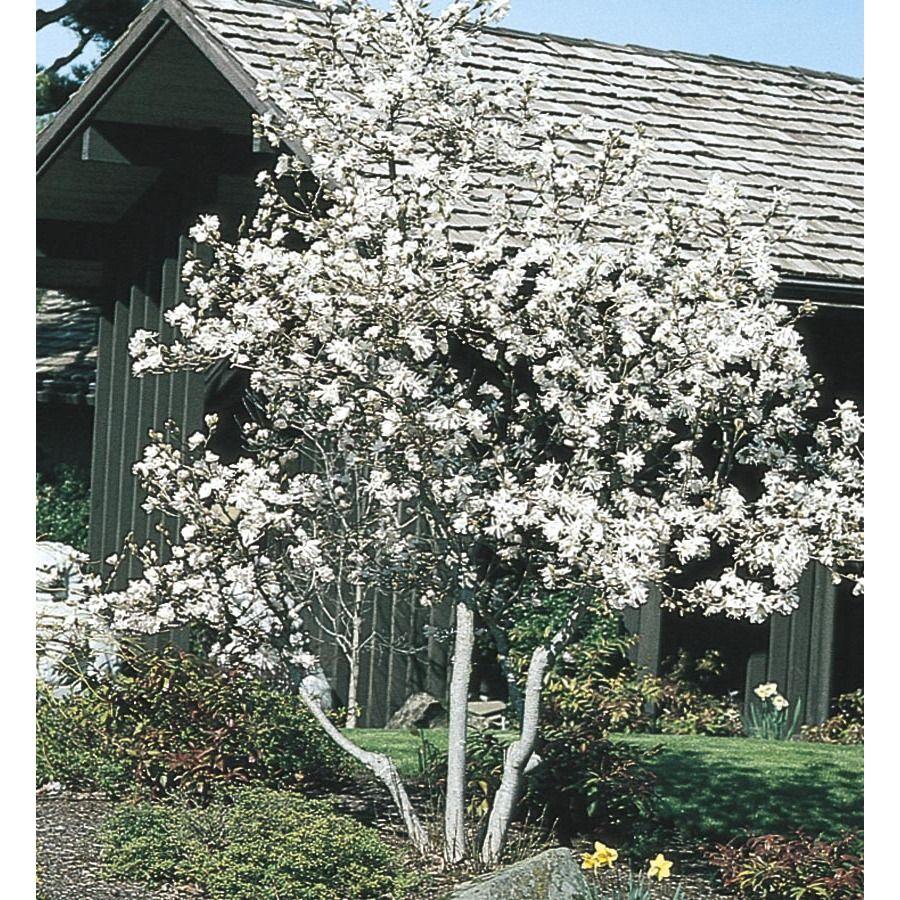 White Royal Star Magnolia Flowering Shrub In Pot With Soil