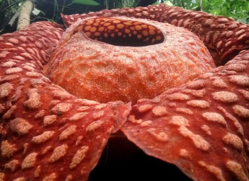 The World S Largest Corpse Flower Is Blooming Right Now And It Stinks In 2020 Corpse Flower Big Blooms Big Flowers