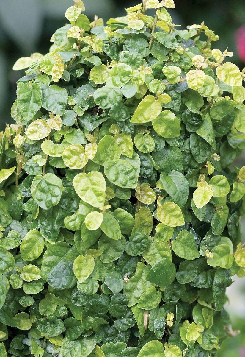 Companion Plants For Creeping Fig Crossvine Bignonia Passion