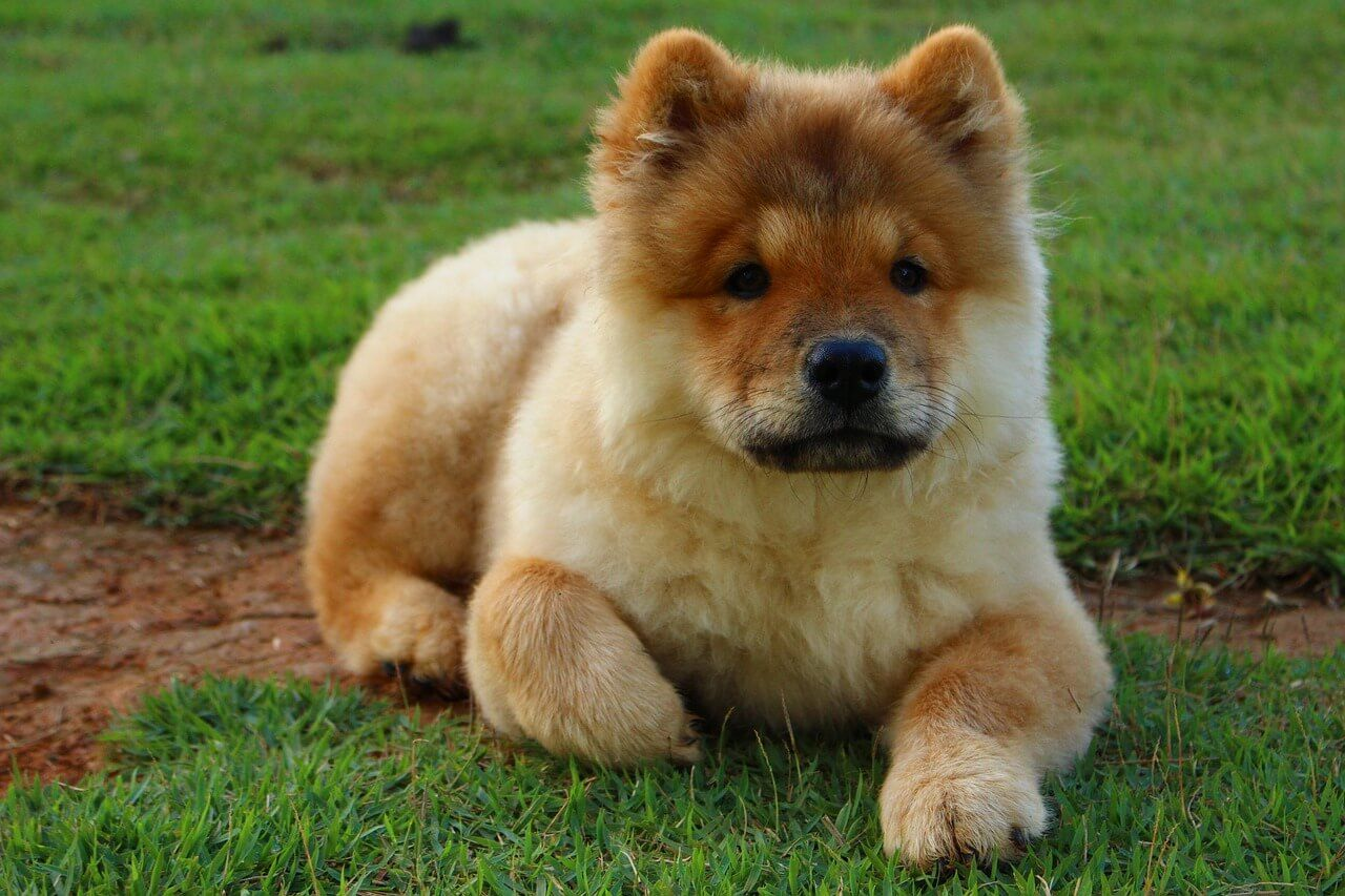 Chusky Dog Breeds Big Fluffy Dogs Most Beautiful Dog Breeds