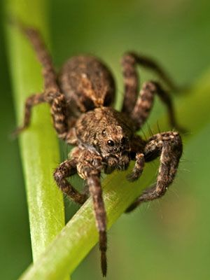 The Wolf Spider Is Common All Over The United States It Doesn T Weave Webs And It Gets Its Name From Its Habit Of Stalking Pr Spider Bites Wolf Spider Spider