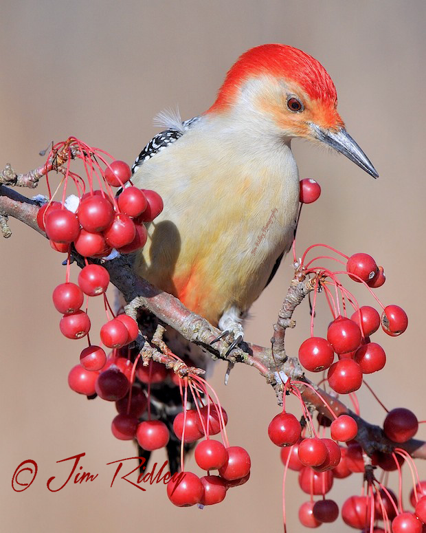Red Bellied Woodpecker by Jim Ridley Photography