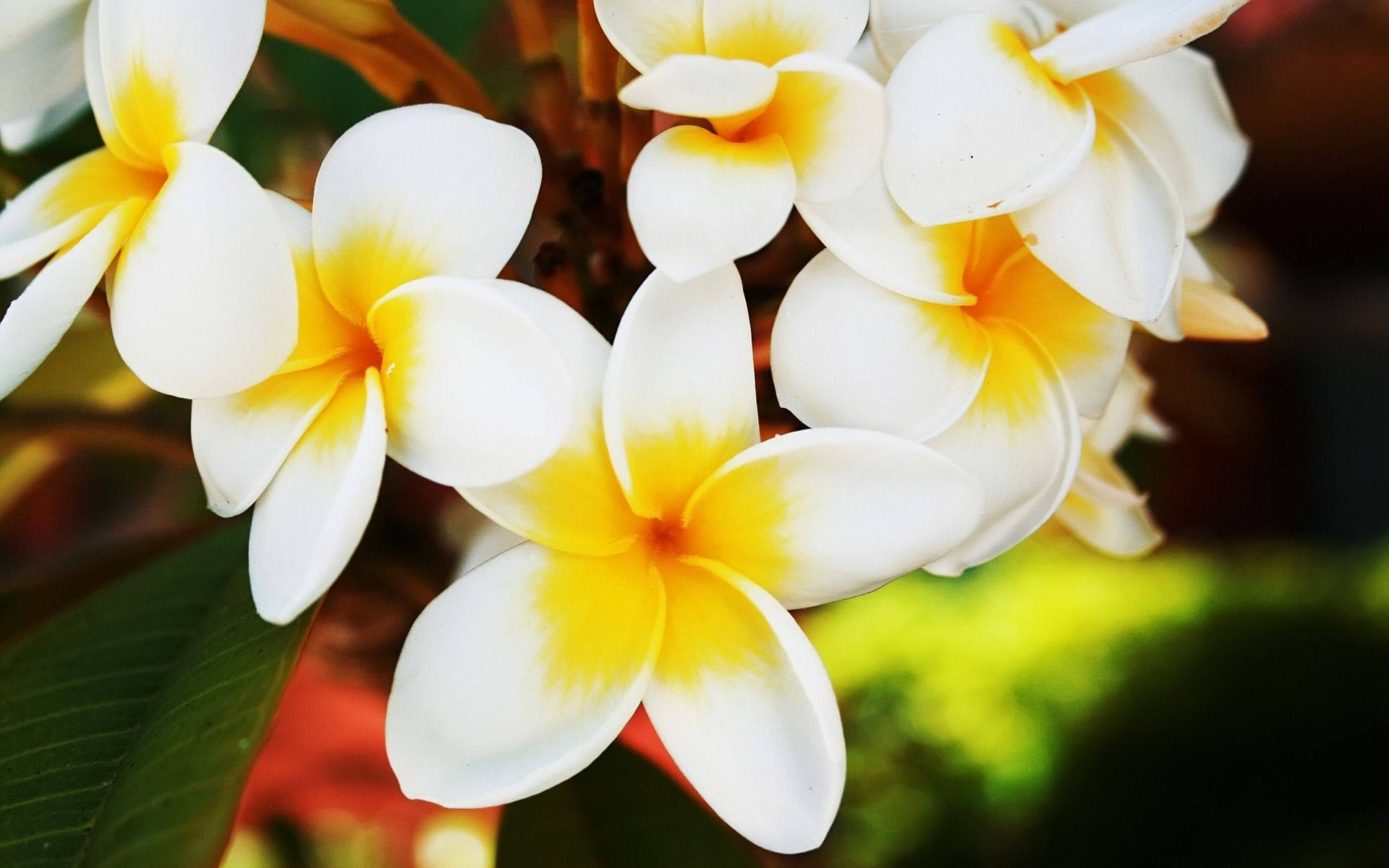 A divinely fragrant tropical flower and a frequent addition to a divinely fragrant tropical flower and a frequent addition to hawaiian leis the endlessly blossoming plumeria is a veritable energetic fountain of izmirmasajfo