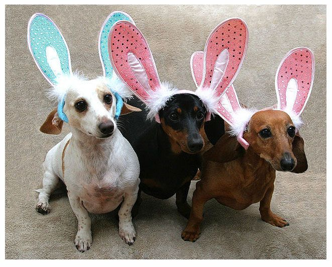 Two Favorite Things Bunny Ears And Dachshunds Dachshund Love