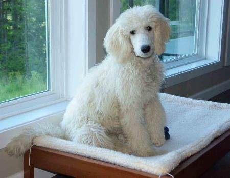 Wonderful Word Of Paris Poodles Colors Poodle Standard Poodle