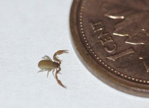 Are book scorpions even real? They're way too cute  Can I have them