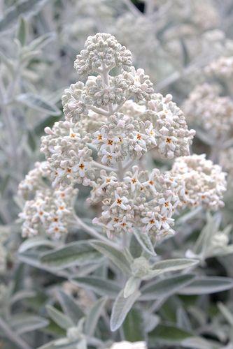 Buddleja \'Silver Anniversary\' | weiße Blumen, Blüten und Pflanzen