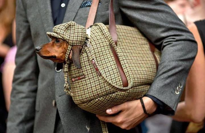 A Dachshund In Tweed Love The Hat Funny Dachshund Dachshund Dachshund Lovers