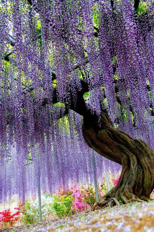 Awesome Wisteria Bebe Look As The Size Of The Trunk Of The Vine This Plant Is Just Magnificent Beautiful Gardens Beautiful Tree Nature