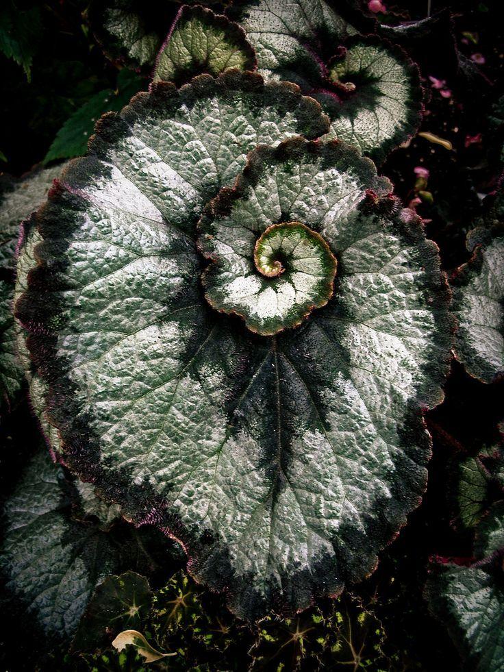 Fibonacci Spiral | Begonia