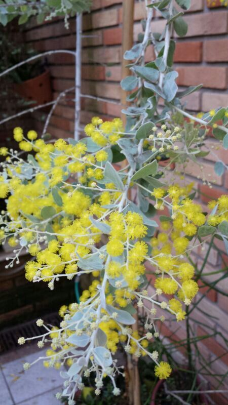 Acacia mimosa floriu