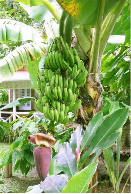 Banana Tree Full Of Frui Trees And Their Lodgers Fruit Banana