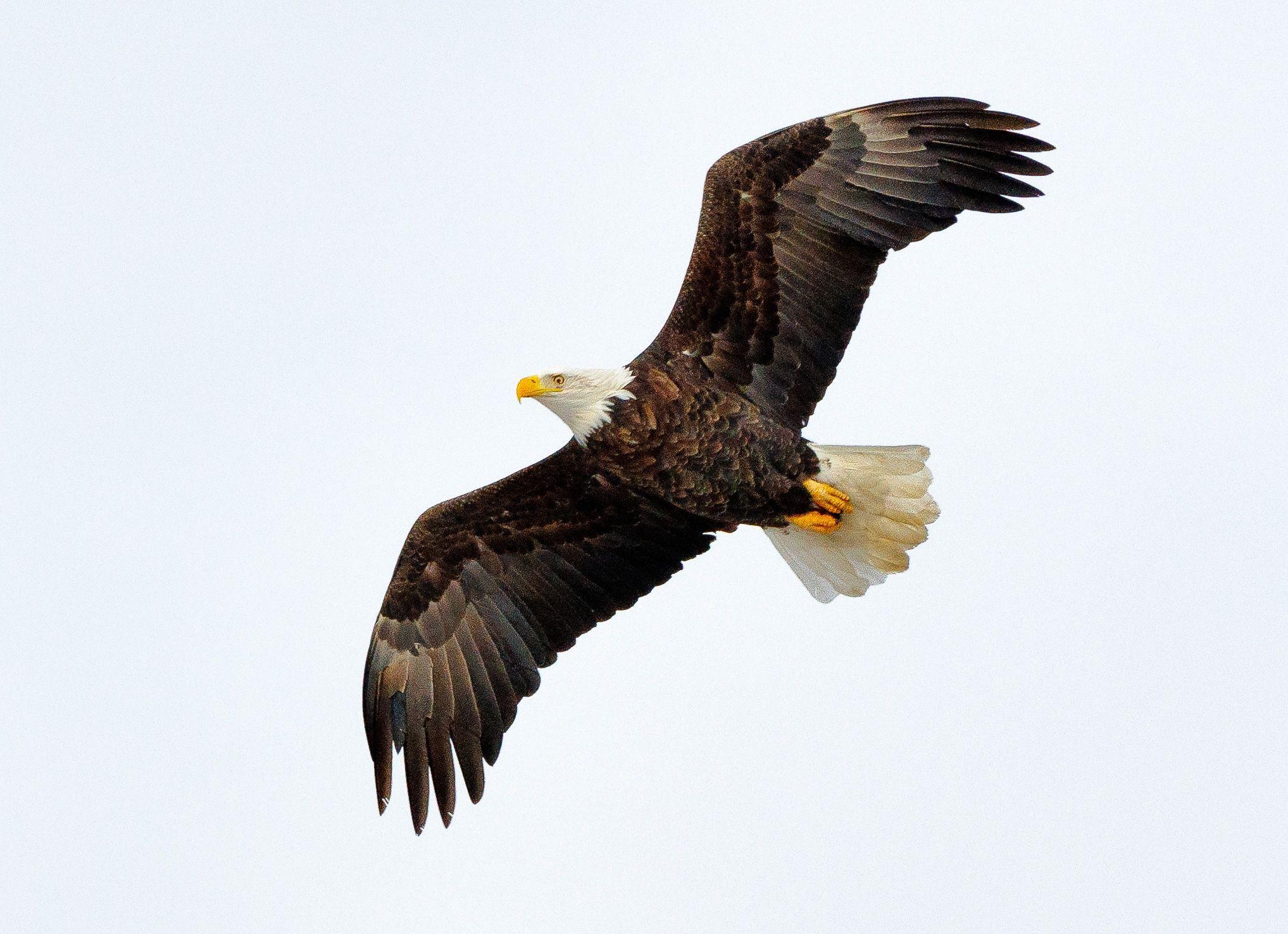 American Bald Eagle in Flight by Nancy Helmer on 500px