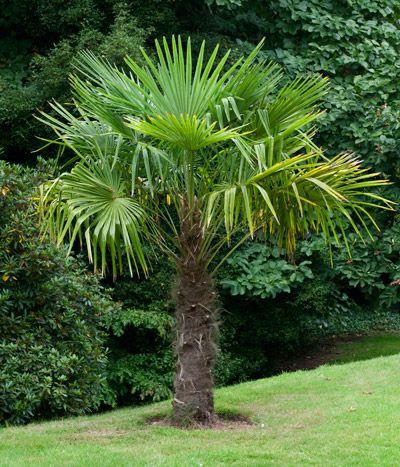 Windmill palm tree cold hardy palm tree trachycarpus for Small hardy trees