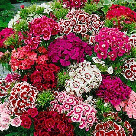 Indian Carpet Dianthus Very Fragrant White Pink Red Blooms Quart Pot Walmart Com Sweet William Flowers Dianthus Flowers Sweet William