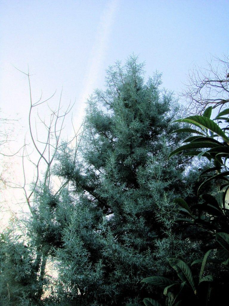 hesperocyparis arizonica. arizona cypress.