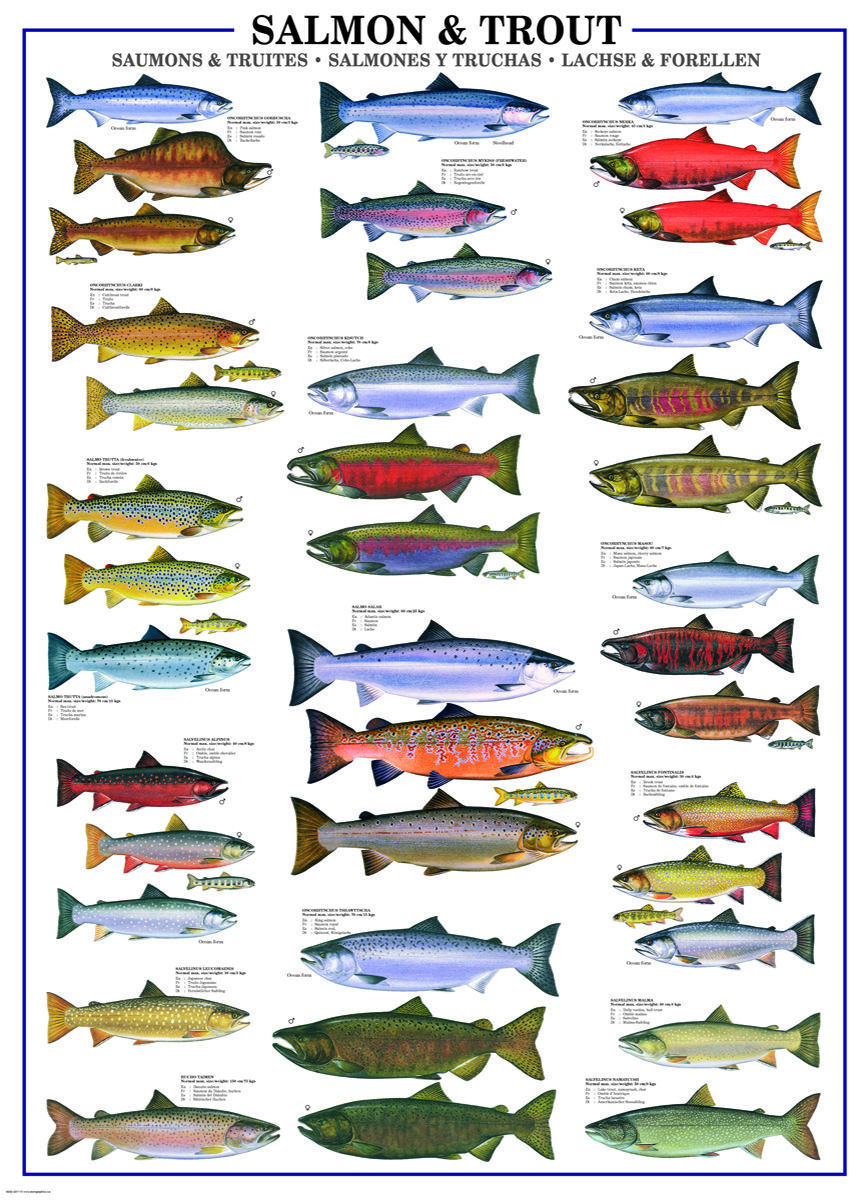 Freshwater fish jigsaw puzzles - Eurographics Salmon Trout 1000 Piece Puzzle This Puzzle Presents 17 Trout Species And