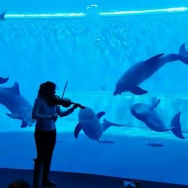 "2,260 Likes, 52 Comments - Moana (@moana_waialikii) on Instagram: ""Dolphind listening to ""How Far I'll Go"" violin version😣🐬💙 (credit: Acquario di Genova)…"""