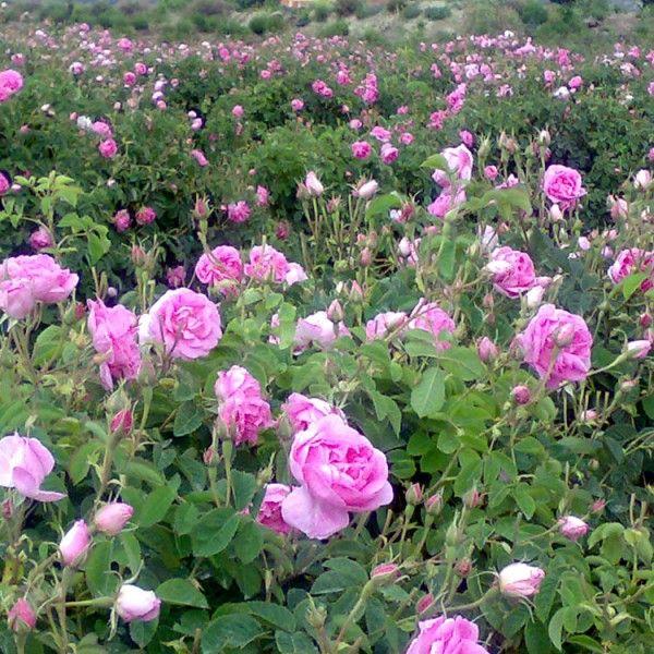 Damask Roses Plants For Sale Rosa Damascena For Essential Otto Oil Amp Jam Wholesale Bulgarian Rose Kazanlak Planting Roses Damask Rose Plant Sale