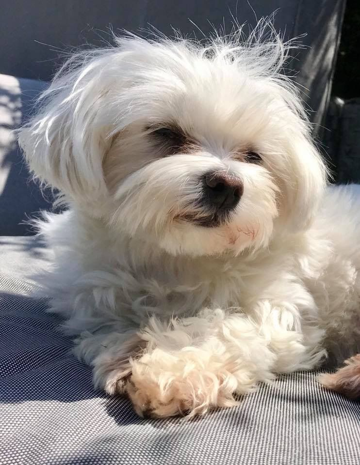 Tinkie Used To Love Sunning Herself I Miss Her So Much Maltese
