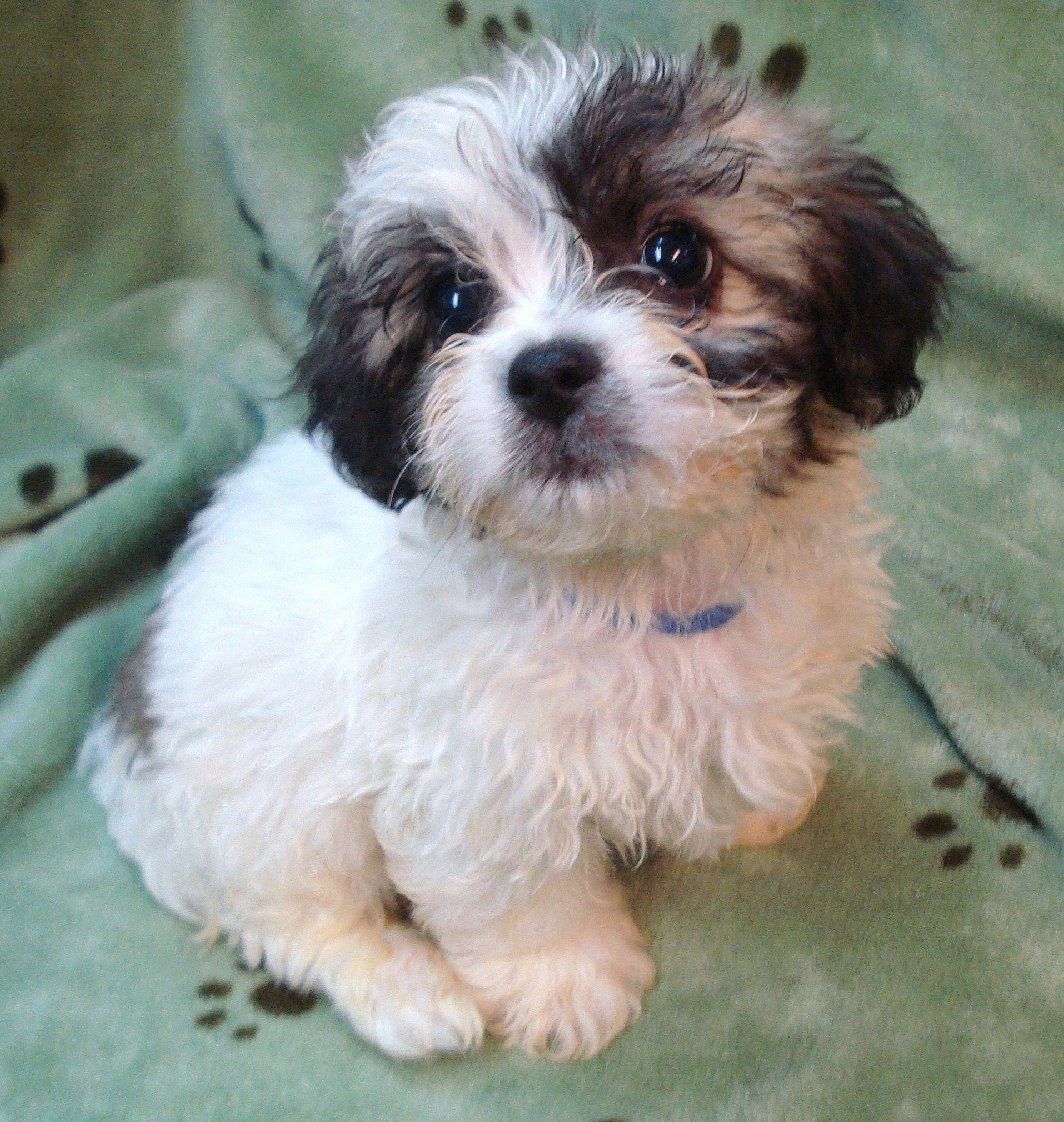 Teacup Peekapoo Teddy Bear Puppies Dog Breeds Puppies