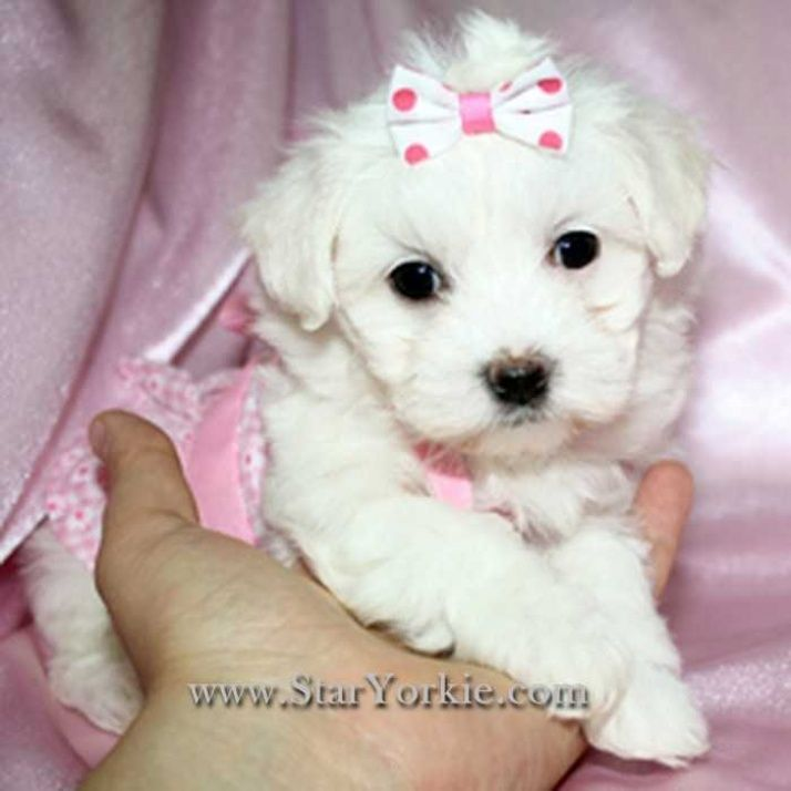 Maltese Dogs For Sale Maltese Puppies Available Now Dogs
