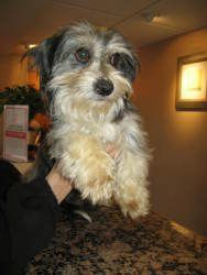 Adopt Emerson On Rescue Dogs Havanese Dogs Havanese
