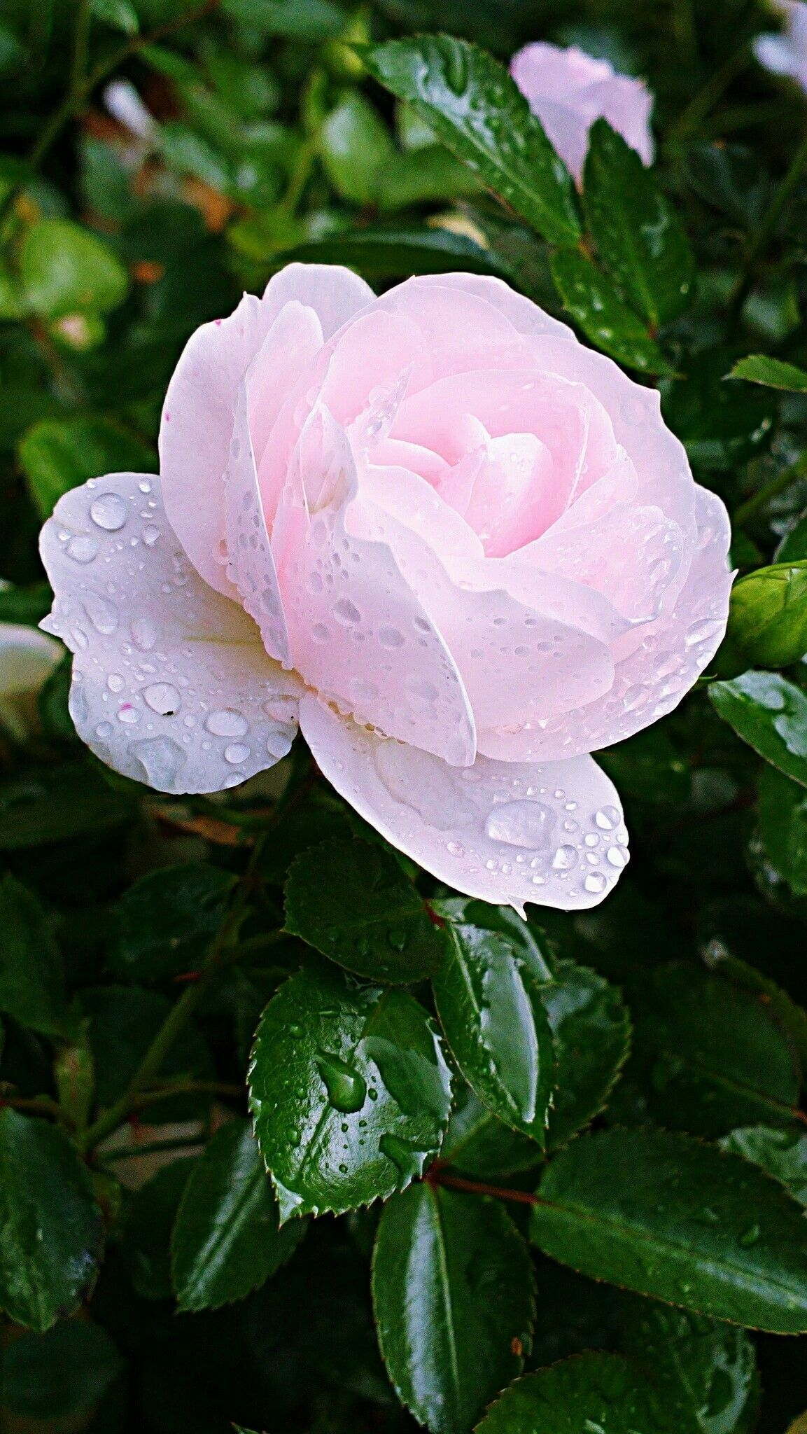 Pin by lorena ramirez salas on flores y alegra pinterest rose need help with your organic garden izmirmasajfo