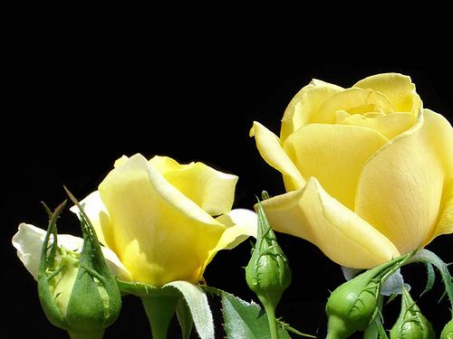 Roses for you!