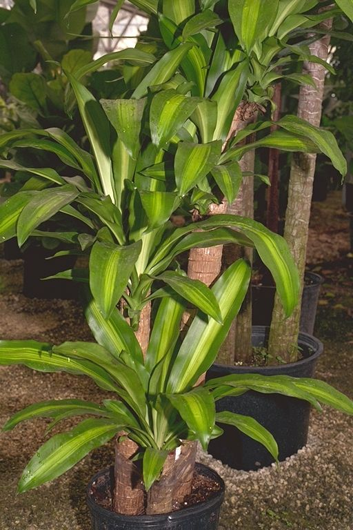 indoor corn plant care instructions tropical house plantstropical - Tropical House Plants