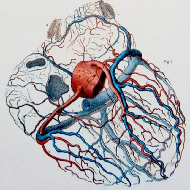"""Right and left coronary arteries, emerging from the origin of the aorta, veins of the heart and coronary sinus."" illustration by J. M. Bourgery from Atlas of Human Anatomy and Surgery / Atlas d'antomie Humaine et de Chirurgie."