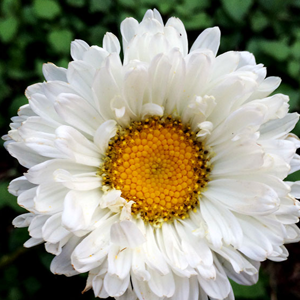 White Aster Flower Seeds Flower Seeds Aster Flower Blooming Plants