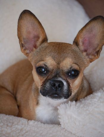 French Bullhuahua  (French Chihuahua) (Frencheenie) (Mexican Frenchie)  Chihuahua / French Bulldog Hybrid Dogs