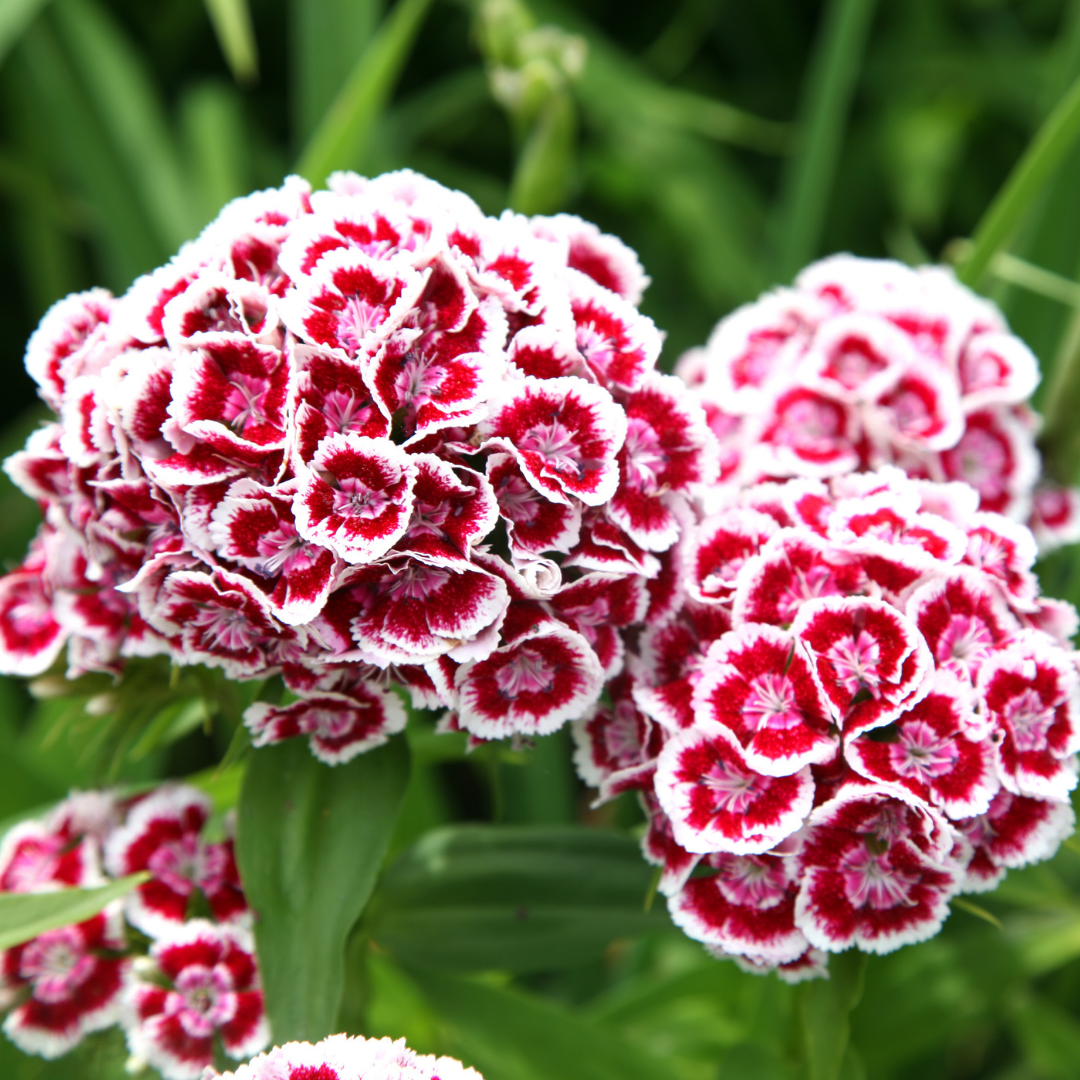 Sweet William Dianthus A Biennial Showstopper Sweet William Flowers Sweet William Dianthus Barbatus