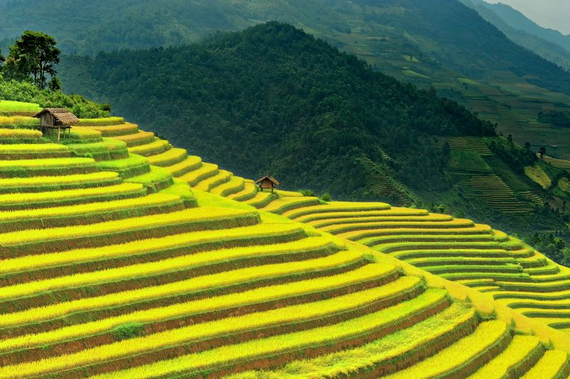 Harvest time at Mu Cang Chai, Vietnam.
