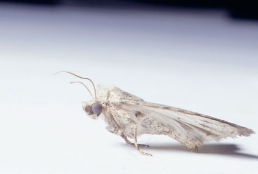 Why Are Moths Constantly In My House Pantry Moths Meal Moths Getting Rid Of Moths