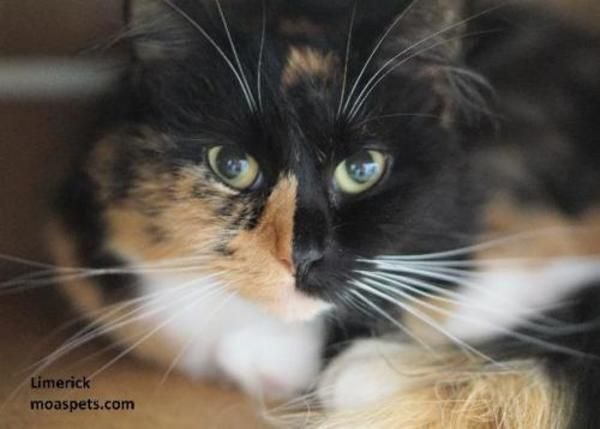 Domestic Long Hair Cat For Adoption In Danielsville Cat Adoption Cats Cute Cats