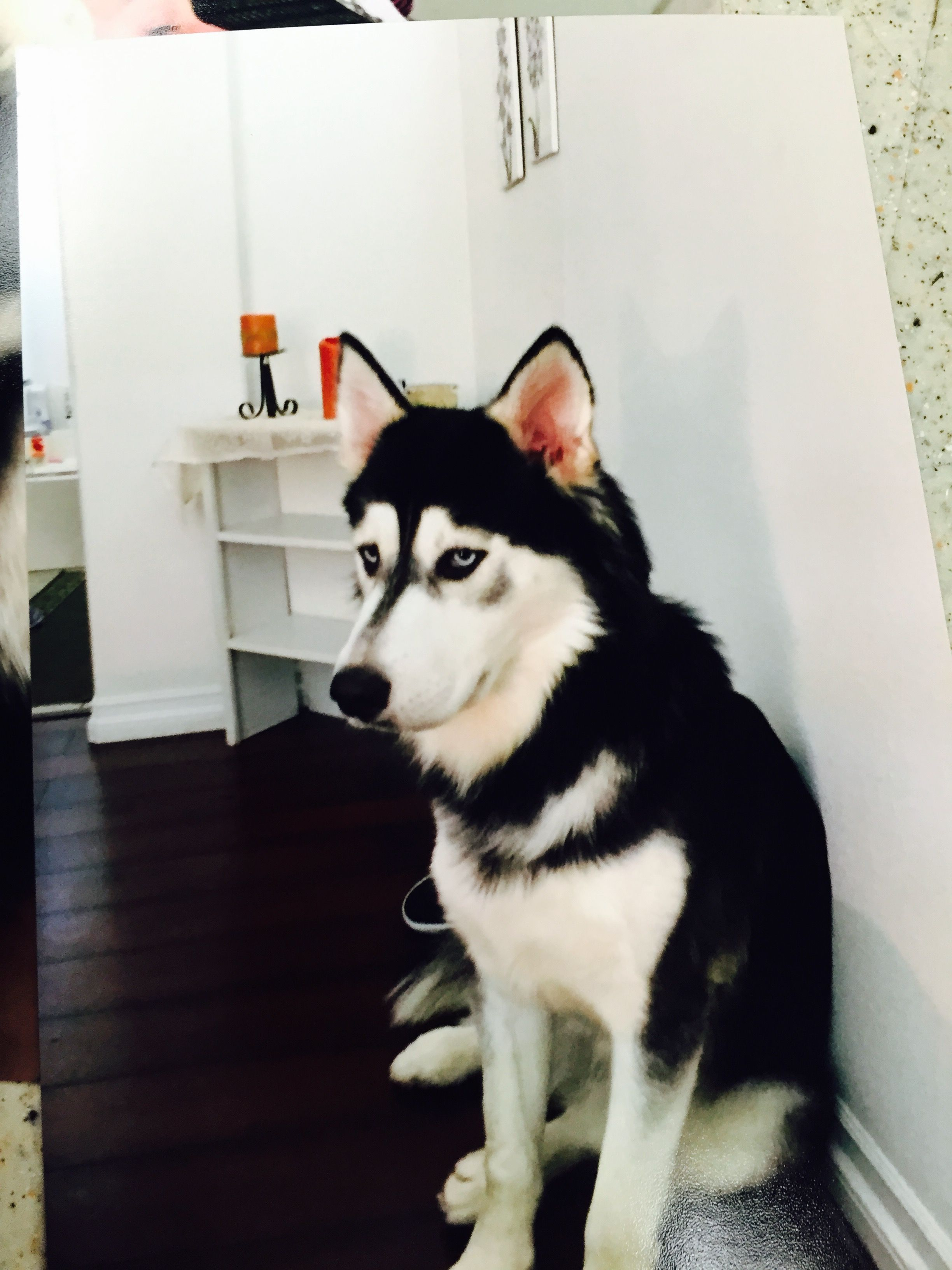 Lost Male Black And White Siberian Husky With Beautiful Blue Eyes