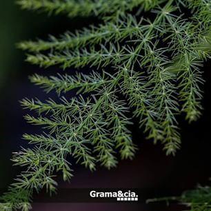Aspargo samambaia - Asparagus setaceus