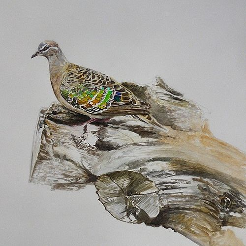 Bronzewing Pigeon Watercolors And Gouache Painting On Paper Australia Painting Photo Gouache