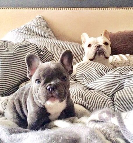 We Are Not Gettin Out Of Bed Today French Bulldogs French