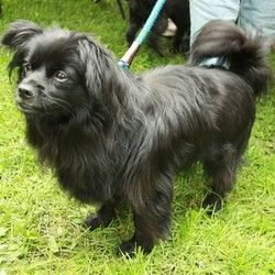 Junior Is An Adoptable Pomeranian Dog In Montreal Qc Look At Me