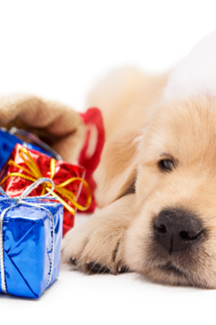Cute Golden Retriever Puppy Wearing Santa Claus Hat With Bag Of Christmas Gifts Horizontal Banner Go Golden Retriever Golden Retriever Puppy Retriever Puppy