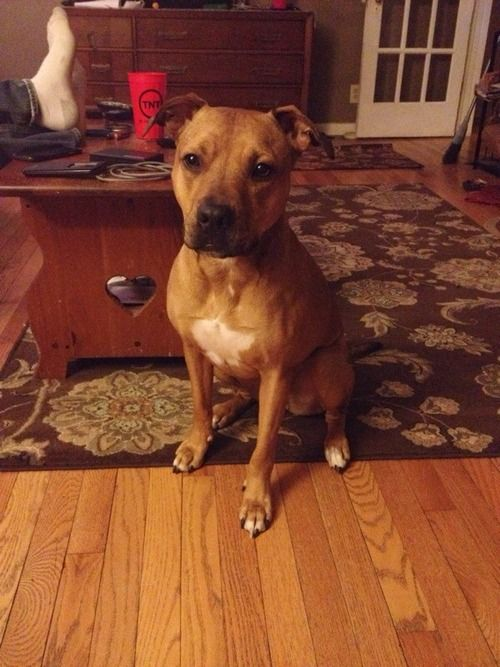 Jasmine Pitbull Rhodesian Ridgeback Mix Looks Just Like Rex