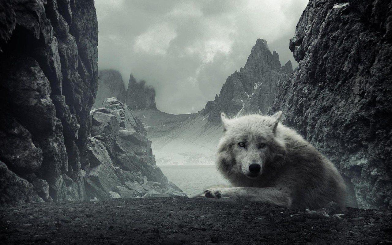 Épinglé par Alexa Webb sur wolf Loup blanc, Images loup