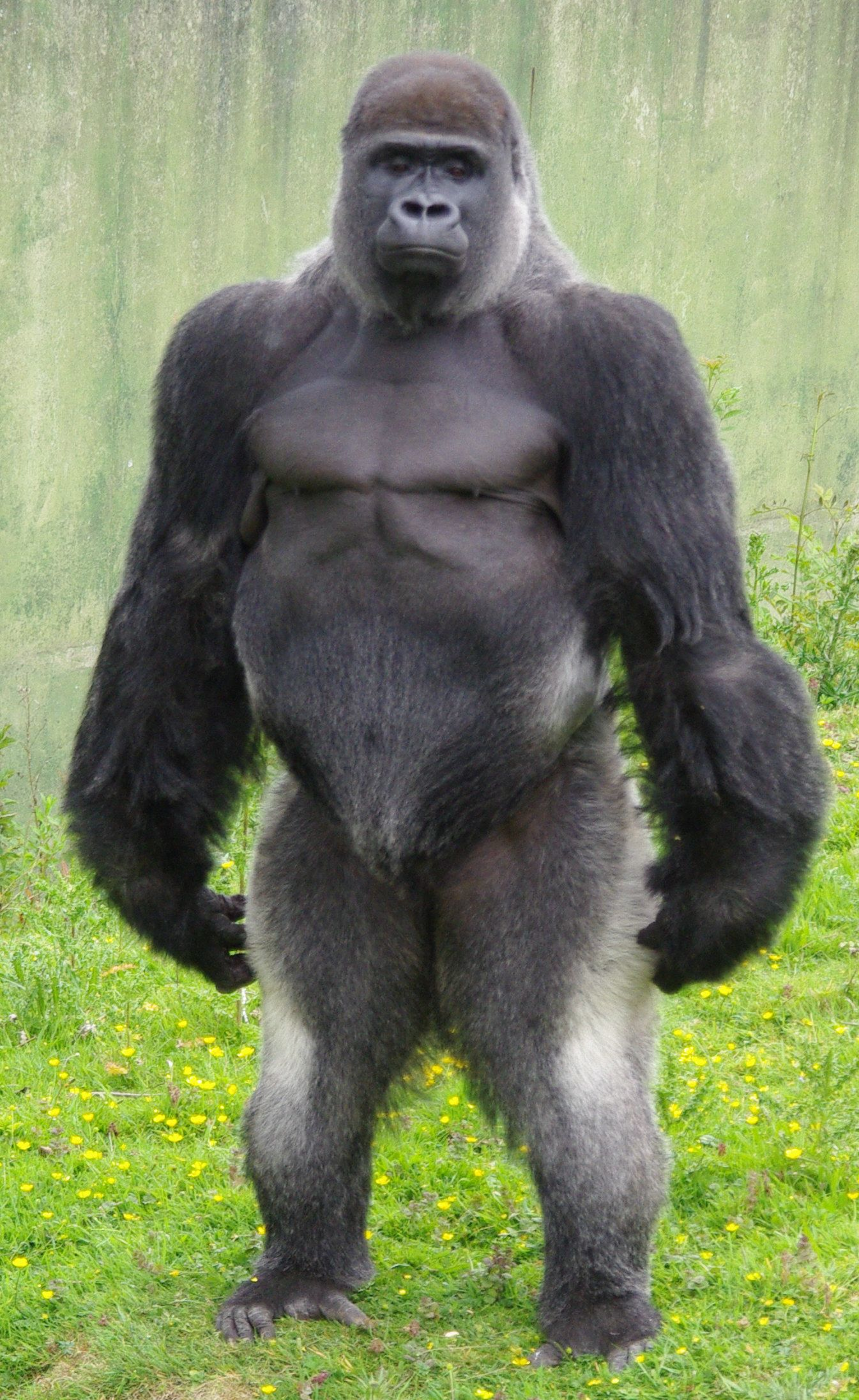 Gorilla standing up - photo#35