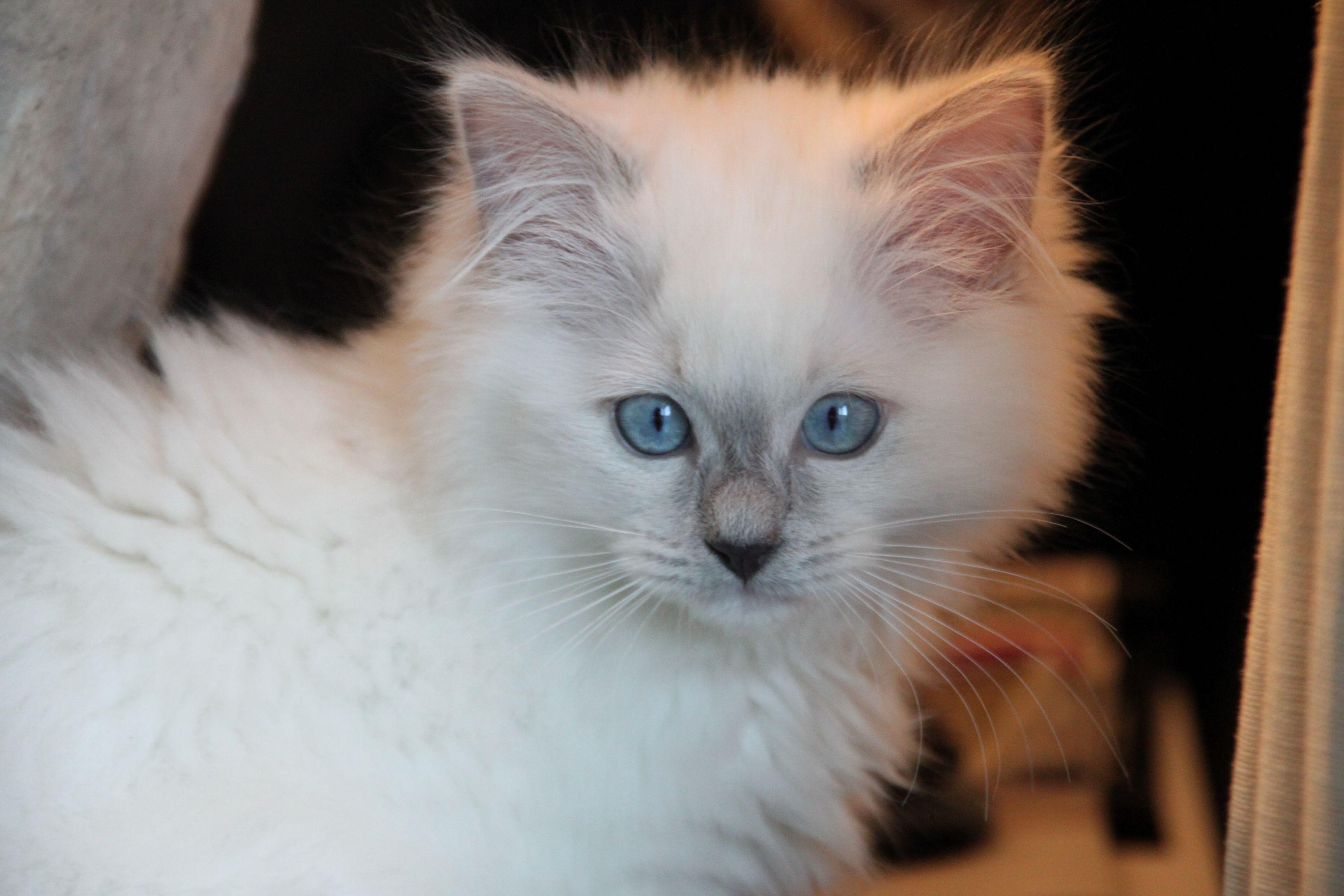 My Beautiful Ragdoll 3 Www Ribbonsragdolls Com Ragdoll Kitten Ragdoll Cat Cats