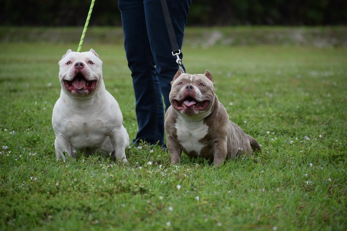 The Extreme Pocket Bully Pocket Bully Pocket Bullies For Sale